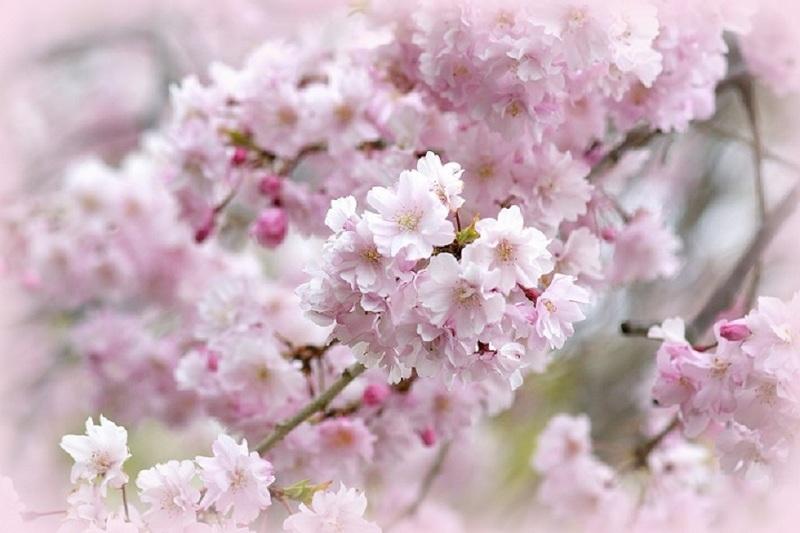 枝垂桜.jpg