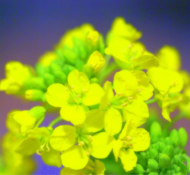 菜の花のコピー.jpg