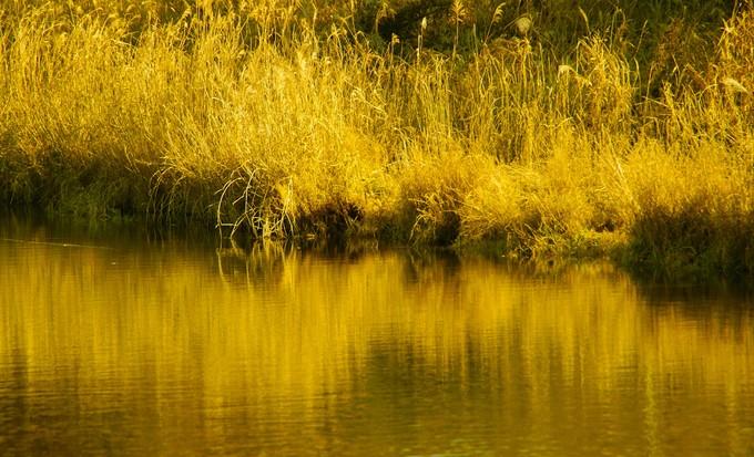 黄金色に輝いて